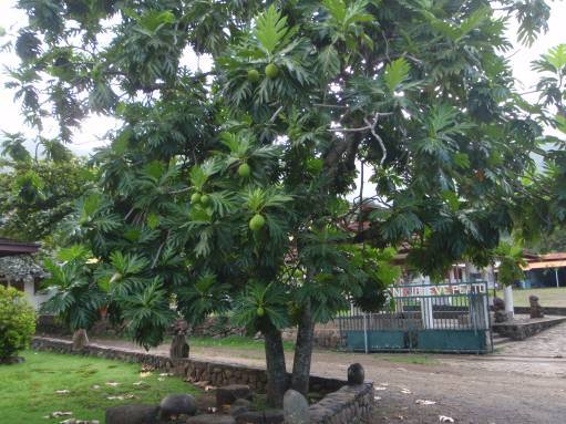 Apr '09 - Nuku Hiva - Taiohae - Breadfruit tree - click to enlarge