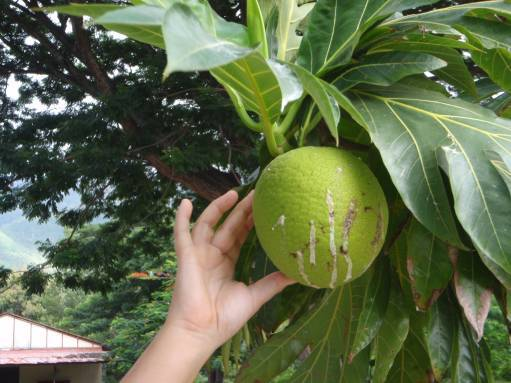 Apr '09 - Nuku Hiva - Taiohae - Sticky breadfruit - click to enlarge