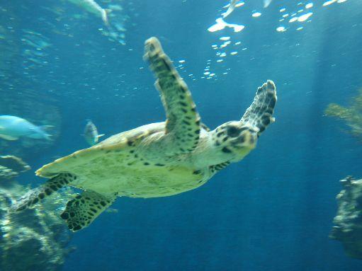 Noumea Acquarium - Turtle