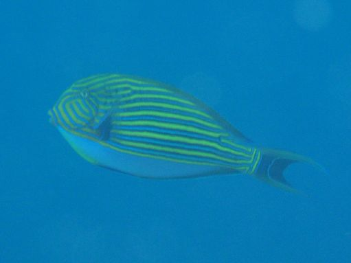 Jun '09 - Moorea - Striped surgeonfish - click to enlarge