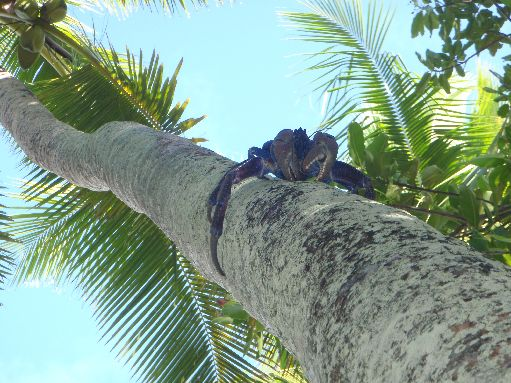 Jul '09 - Coconut crab up a coconut palm - click to enlarge