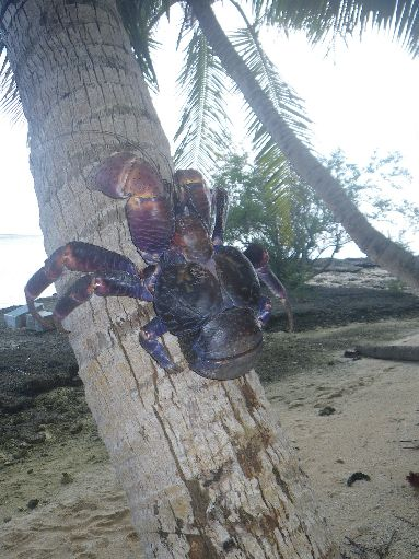 Jun '09 - Coconut crab in a coconut palm - click to enlarge