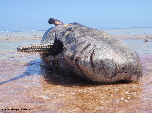 Aug '09 - 50 foot dead sperm whale on the reef - click to enlarge