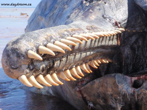 Aug '09 - Jaw of dead sperm whale on the reef - click to enlarge