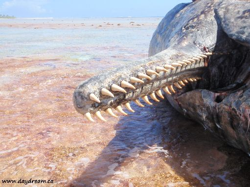 Aug '09 - Jaw of 51 foot dead sperm whale on the reef - click to enlarge