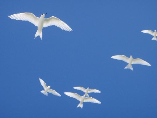 Aug '09 - Entrance Island - Fairy terns - click to enlarge