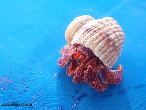 Jul '09 - Hermit crab - click to enlarge