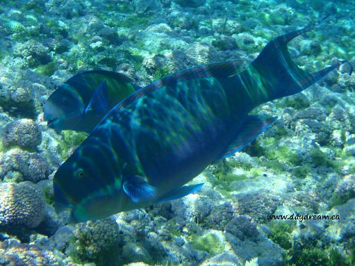 Jul '09 - Seven Islands - Parrot fish - click to enlarge