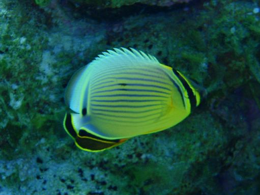 Jul '09 - Seven Islands - Reef fish - click to enlarge