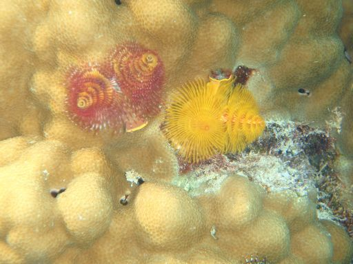 May '09 - Ahe atoll - Christmas Tree worms - click to enlarge