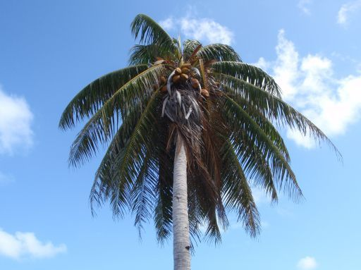 May '09 - Ahe atoll - Palm - click to enlarge