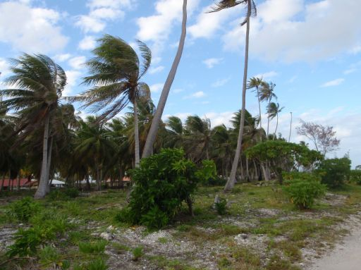 May '09 - Ahe atoll - Palms in the wind - click to enlarge