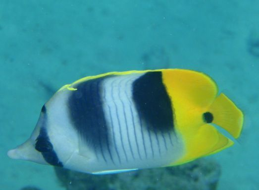 Jun '09 - Rangiroa atoll - Double saddle butterflyfish - click to enlarge
