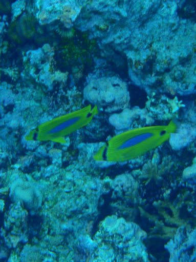 Sep '09 - Coral Gardens - Reef fish - click to enlarge
