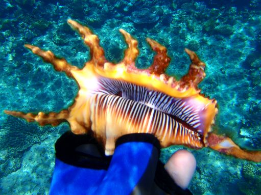 Sep '09 - Coral Gardens - Stunning Scorpio Spider shell - click to enlarge