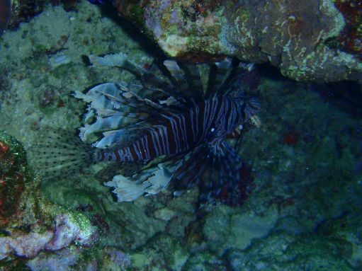 Sep '09 - Pretty but very poisonous lionfish - click to enlarge