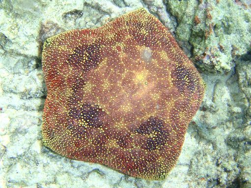 Sep '09 - Coral Gardens - Pincushion starfish - click to enlarge
