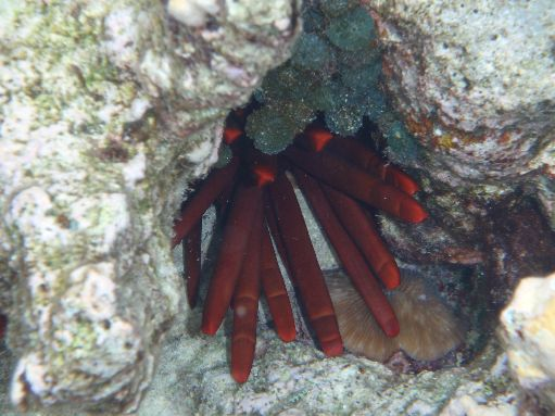 Sep '09 - Fire-coloured urchin spines - click to enlarge