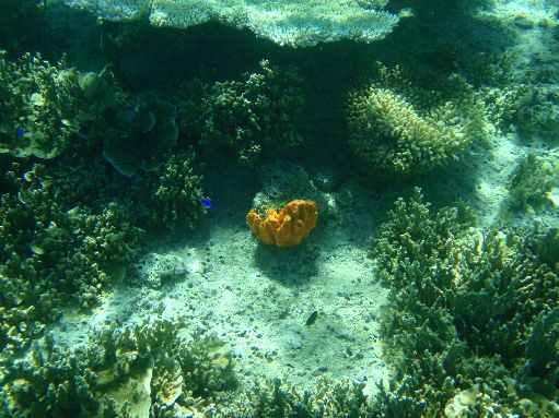 Sep '09 - Bright orange sponge among the coral - click to enlarge