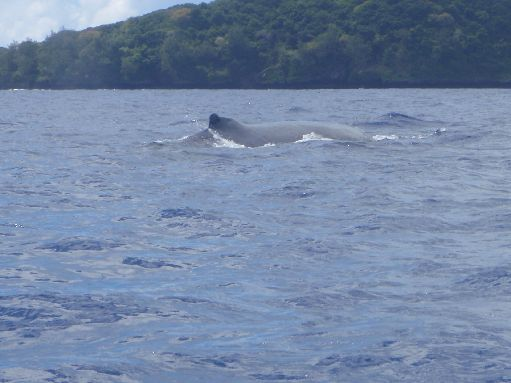 Oct '09 - Momma humpback - click to enlarge