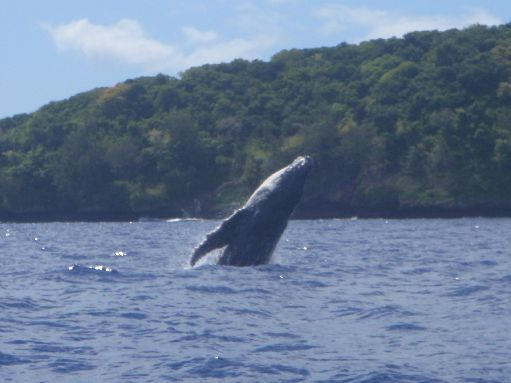 Oct '09 - Calf humpback learning to breech - click to enlarge